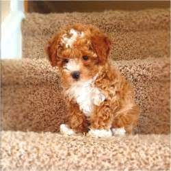 Do Bichon Maltese Shed by Abstract Toy Poodle Toy Poodles Pinterest Toy
