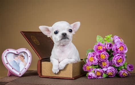 hundebekleidung für chihuahua puppies and flowers wallpapers 63 images