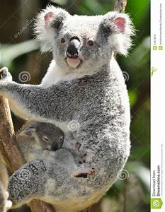 Australian Koala Bear With Cute Baby Australia Royalty ...