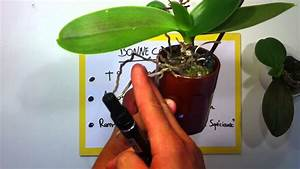 Entretien Des Agapanthes : entretenir des orchid es conseils jardinage entretien des orchid es youtube ~ Melissatoandfro.com Idées de Décoration