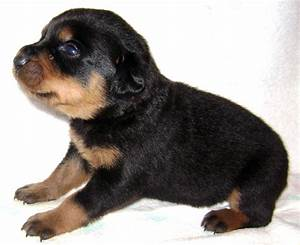 German Shepherd Rottweiler Mix Full Grown Photo - Happy ...