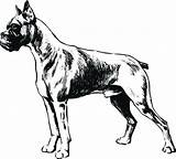 Coloring Boxer Pages Dog Dane Sketch Printable Getcolorings sketch template