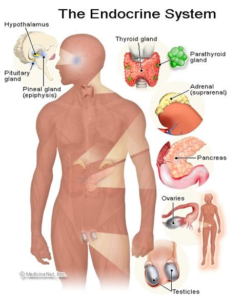 myers pharmacy diagram of the endocrine system