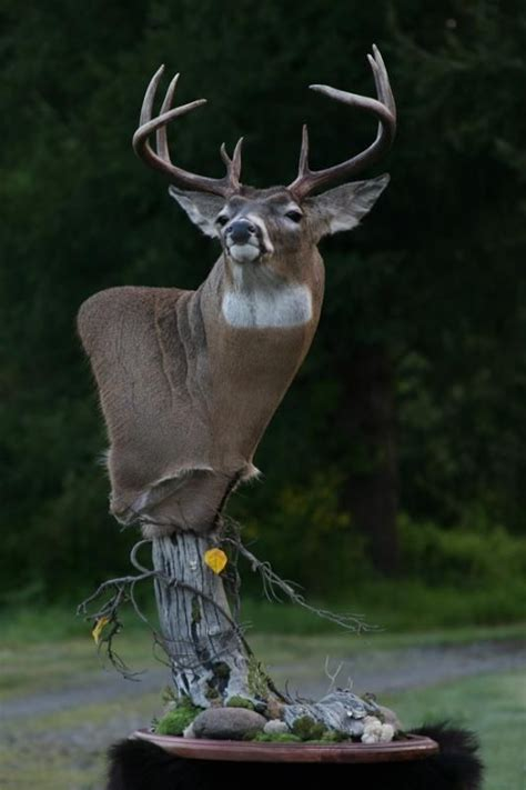 quality whitetail pedestal deer mount taxidermy taxidermia