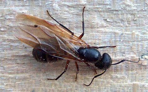 carpenter ants with wings 301 moved permanently