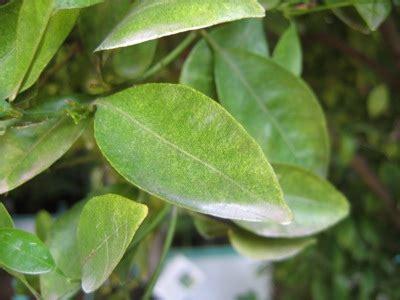 schaedlinge  citruspflanzen