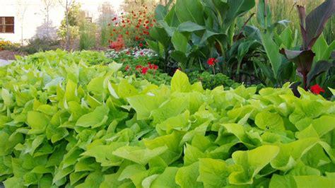 Decorative Potato Plant - grow your own ornamental sweet potato vine whyy