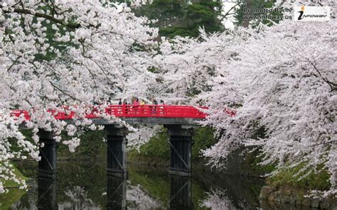 japan cherry blossoms flowers spring season hd wallpapers