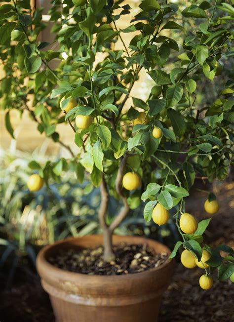 grow meyer lemon trees  garden pots