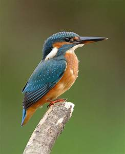 Thames Blog 26: A Wealth of Kingfishers | Glen Chilton  Kingfisher