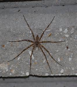 Large Brown Spider