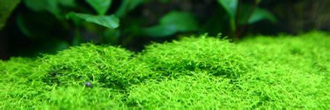 moos für aquarium aquarium moss 101 the aquarium guide