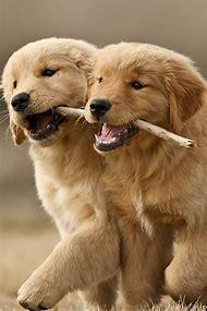 Dogs Golden Retriever Puppy