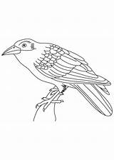 Coloring Cuckoo Crow Pages Drawing Bird Crows Indian Cuckoos Getdrawings Coloringbay sketch template