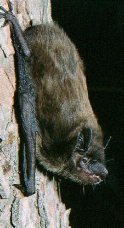 evening bat nycticeius humeralis