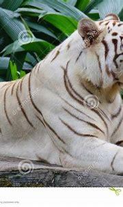 White tiger in the zoo stock image. Image of safari ...