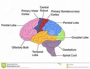 30 Label The Brain Lobes