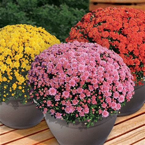 Caring For Fall Mums - Weaver's Hardware