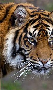 Close-up photo of tiger, sumatran tiger HD wallpaper ...