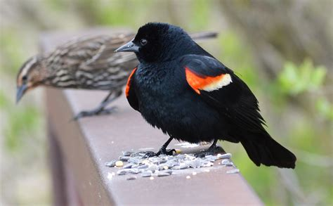 red winged blackbird birds of pennsylvania