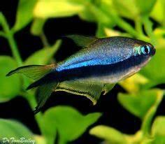 Rummynose Rasbora Freshwater Fish