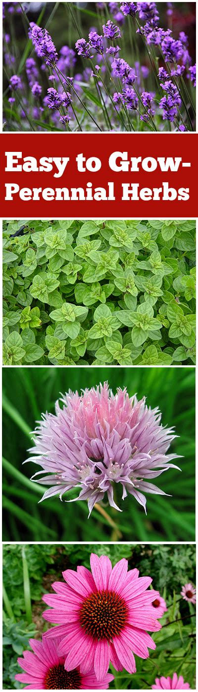 Perennial Herbs That Are Easy To Grow  Bless My Weeds