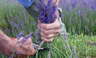 wann pflanzen zurückschneiden lavendel vermehren selbst de