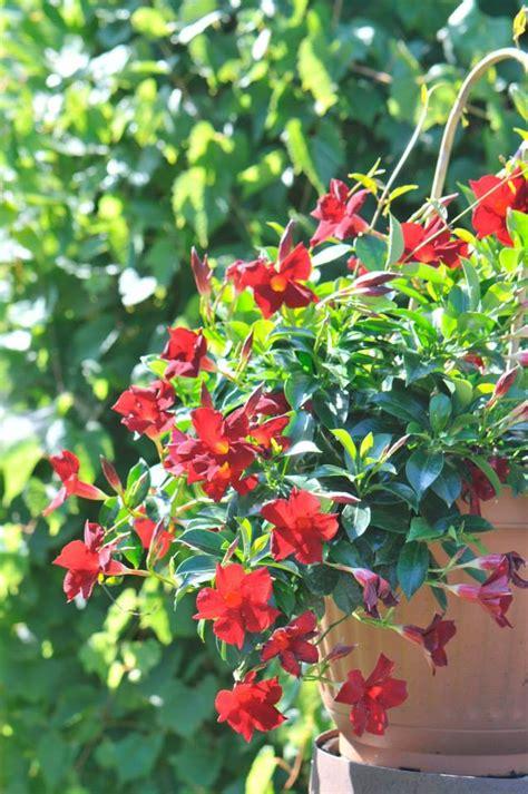 fleurs annuelles plein soleil en pot
