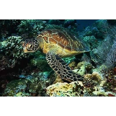 Life of Green Sea TurtleLife