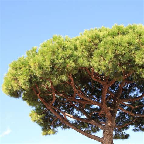 pin parasol plantes et jardins