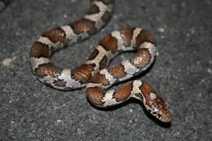 Eastern Milk Snake Indiana