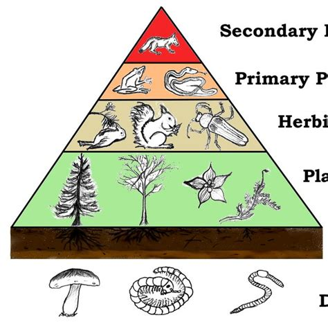 food chains chain webs consumers primary secondary tertiary quaternary producers levels trophic organisms playbuzz different feeding flip energy