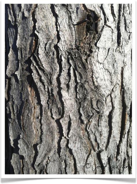Bark of the kentucky coffee tree, gymnocladus dioicus. Kentucky Coffeetree - Bark | Tree Service by Boulder Tree Care