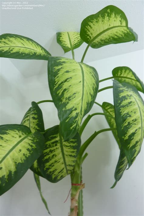 big leaf house plants plant identification closed need identification for tall houseplant 4 by mxc