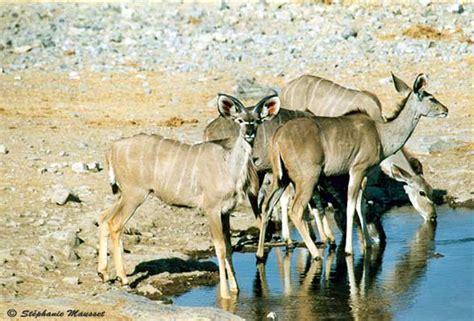 Namibia Wildlife: kudus photo