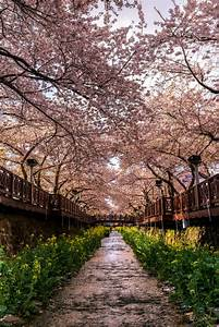 Jinhae Cherry Blossoms