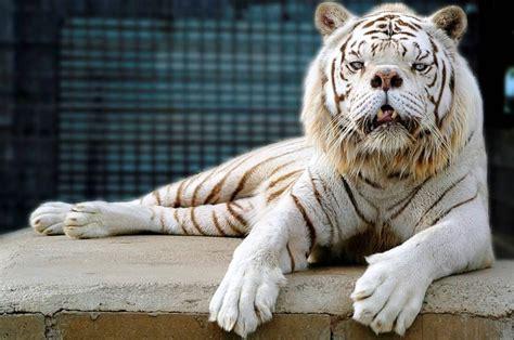 ligers tigons   frankencats