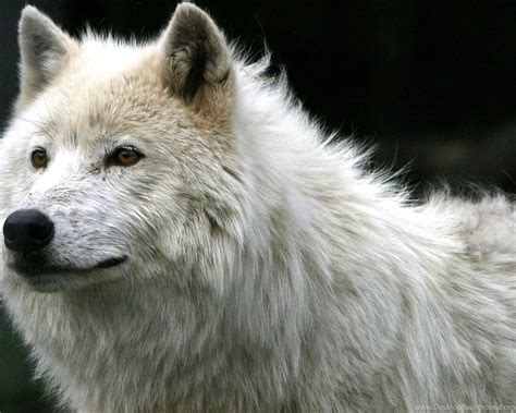 1080p Wolf Wallpaper Hd For Mobile by Page 3 Hd 1080p Wolf Wallpapers Hd Desktop