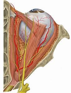 Superior rectus muscle - Wikipedia