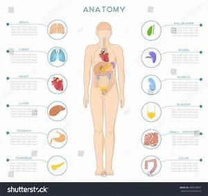 Medical Poster Human Anatomy Internal Organs Stock Vector