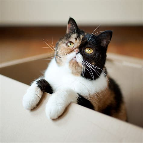 calico cats cat awesome why reasons iheartcats facts cool munchkin kittens kitten kitty she savannah known well sweet pawsitivelypawesome