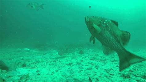 underwater grouper fishing bay tampa caught getting footage