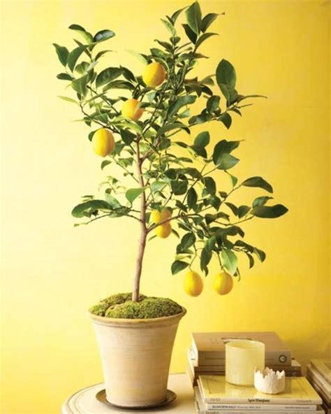 limoni in vaso potatura limoni in vaso potatura limoni in vaso potatura