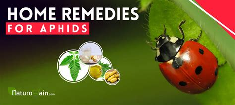 simple   home remedies  aphids  kill  fast