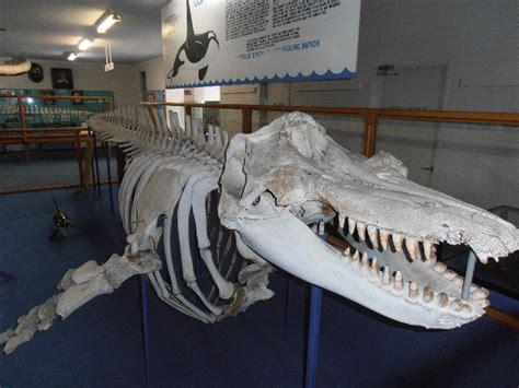 Old Tom (Killer Whale)   Photo