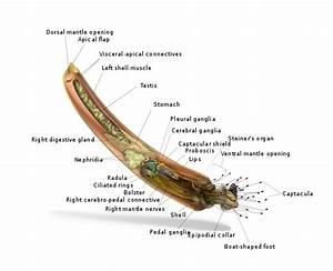 Anatomical Diagram Of Rhabdus Rectius