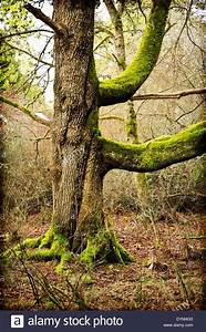big moss covered tree trunk with large branches mystical With what is a tree trunk covered with 4 letters