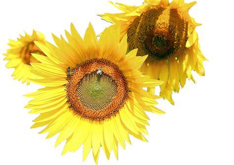 top  sunflower png transparent images
