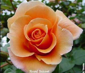 17 Best images about peach rose tattoo on Pinterest ...