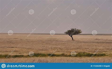 Acacia In The Savannah Of The Serengeti Tanzania Stock
